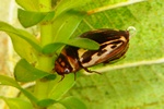 Platambus maculatus
